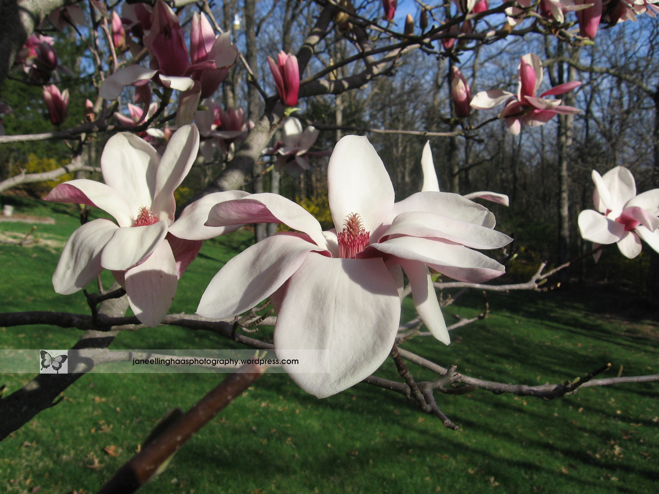 Tulip Tree Blooms Jane Louise Photography
