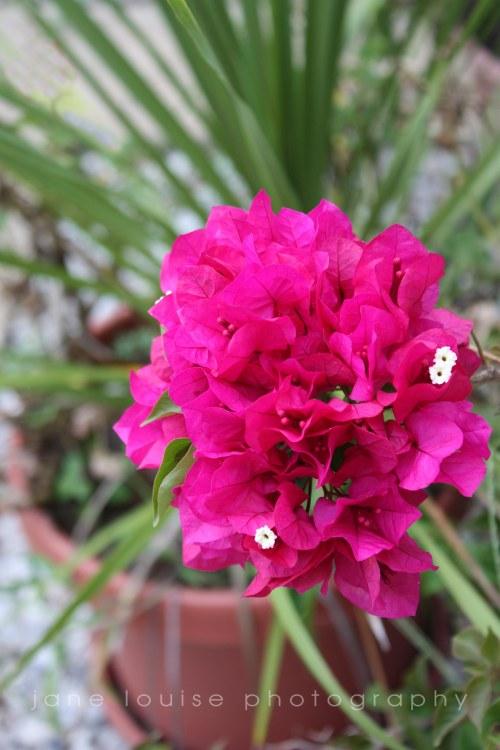 Bouganvillea Blooms
