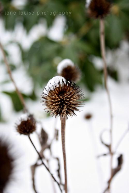 2014 SnowCappedConeflowerSeedPodJLPC