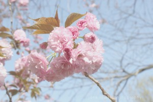 Japanese Flowering Cherry JHaasJLPBlissful