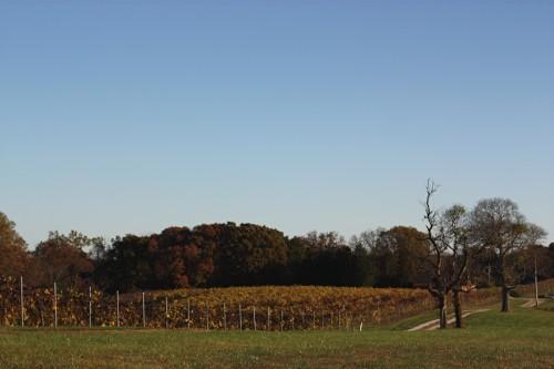 vineyardinautumn