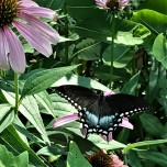 blackswallowtailJLP (2)