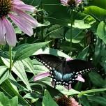 blackswallowtailJLP (2)
