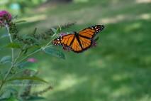 Monarch 0014JLP