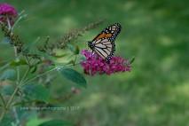Monarch 0015JLP