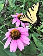 Tiger Swallowtail JLP (2)
