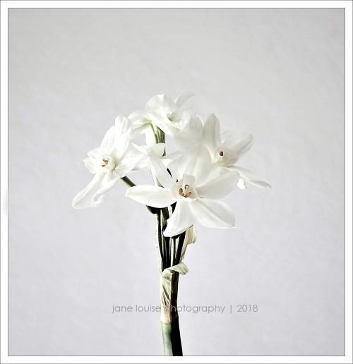 NarcissusBloomsJLP