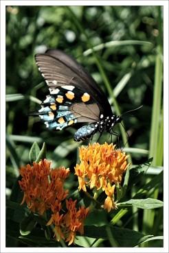 Black Swallowtail 2 JLP