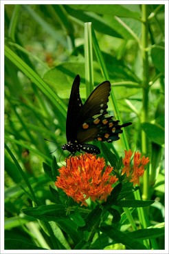 Black Swallowtail JLP